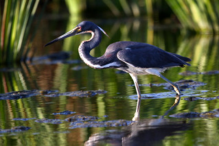 Tricolored Heron | by Florida Bird Pictures