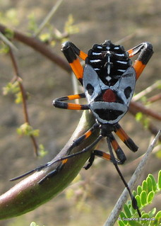 Thasus Acutangulus - Giant mesquite bug | by Oaxaca guide