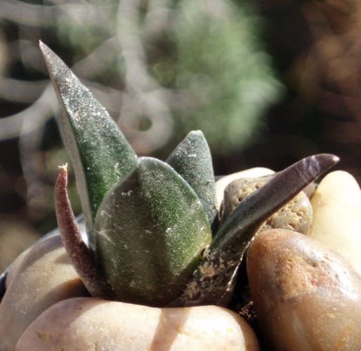 Ariocarpus retusus 5810876664_110da6f93f_o