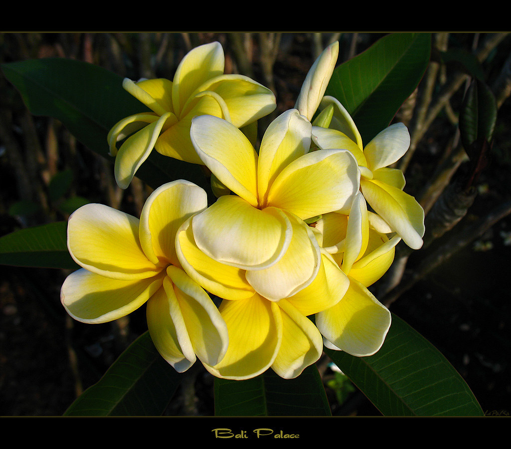 Rare Flowers The Plumeria Bali Palace Here Is The Plumer Flickr