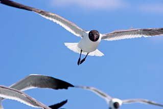 Attack of the Seagulls | by herb.g