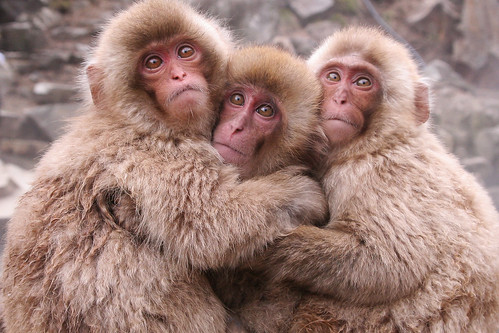 3 Hugging Snow Monkeys, Nagano (Japan) | by {CP}