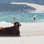 Beach´s cow 3