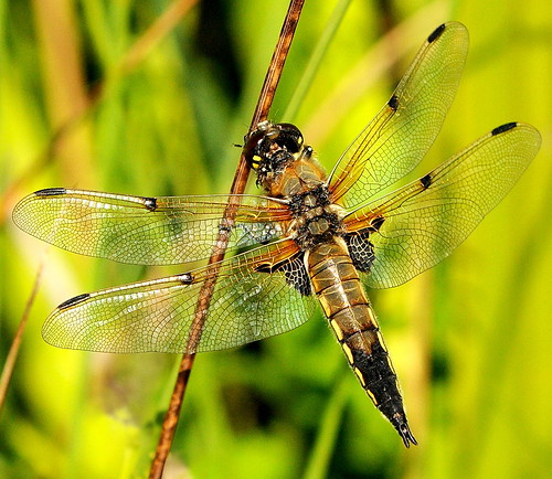 FOUR SPOTTED CHASER DRAGONFLY (MALE) | by Musicaltone