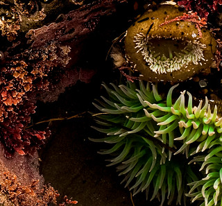 Tidepool detail with Anemones. | by Dennis_Dean