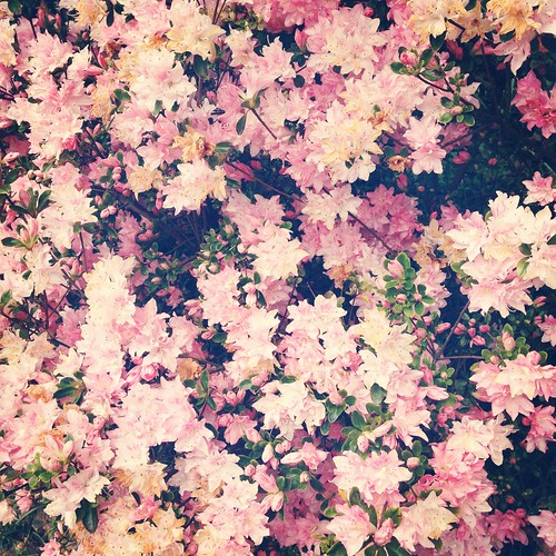Pretty Pink Flowers | by rosepetaldeer