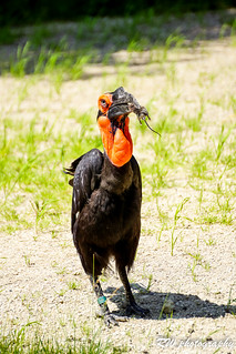 hornbill got a mouse | by Valery_RW