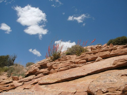 Pretty flowers above Tunnel Slot, Grand Staircase-Escalante National Monument, Utah