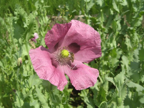 papaver somniferum schlafmohn die firma weleda hat zum an flickr. Black Bedroom Furniture Sets. Home Design Ideas