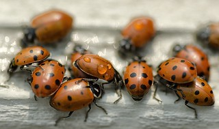 Thirsty Lady Bugs | by snowpeak