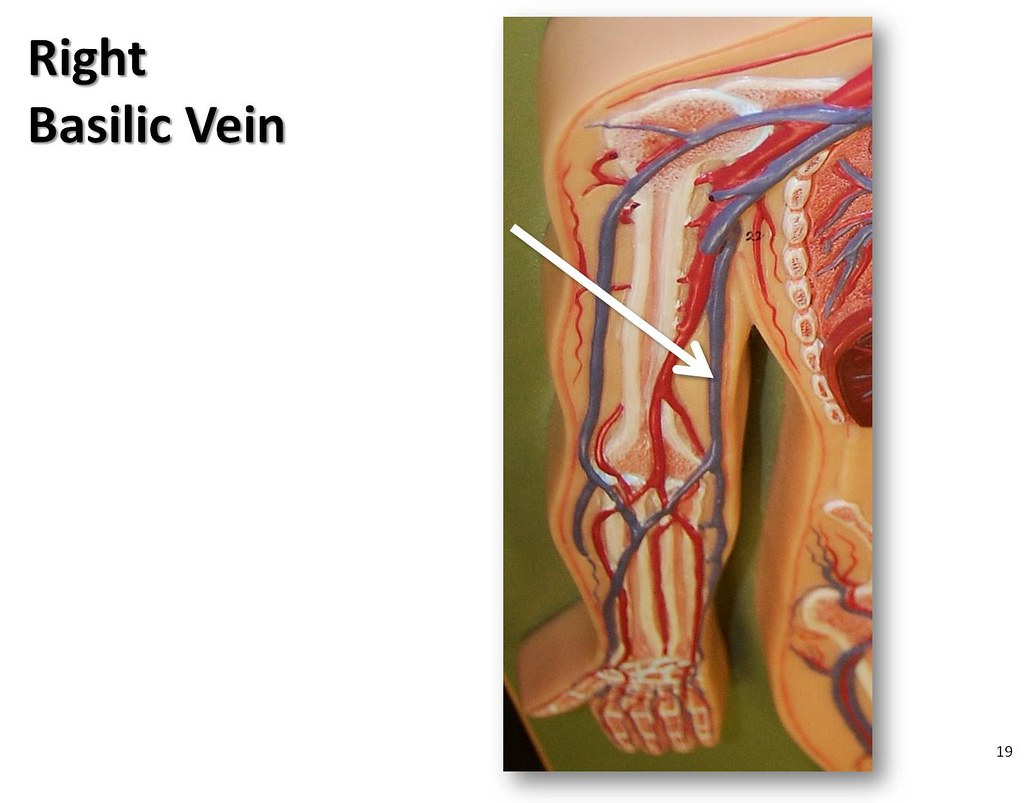 Right basilic vein - The Anatomy of the Veins Visual Guide… | Flickr