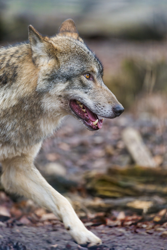 Profile of a wolf walking