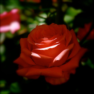 rosa-luz | by TheaRomitiphotos