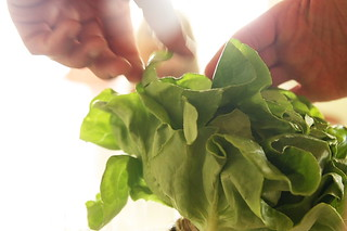 hydroponic_lettuce | by Darby's Pictures