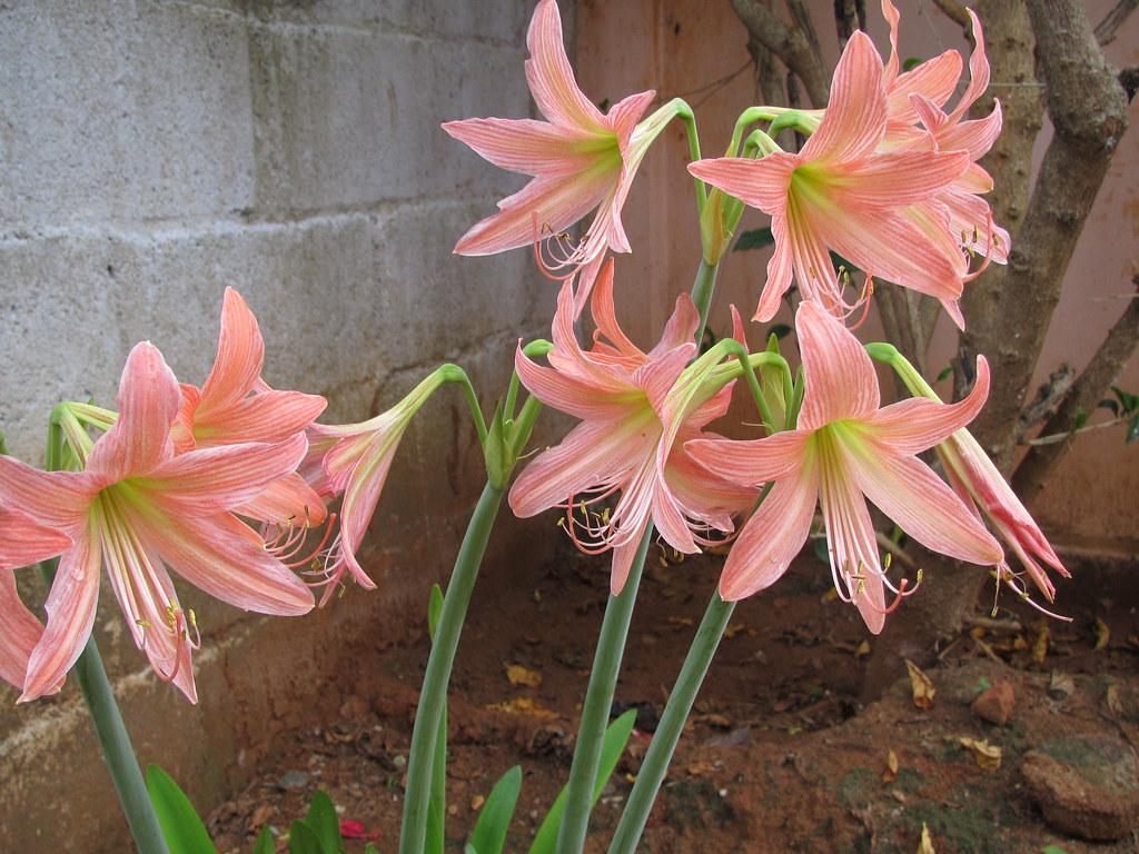 Img0071 Lily Flower Tamil Nadu India Rbgrubh Flickr