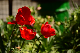nikon d5100 photography: three sunlit and shaded silky red tulips (unedited) ------- viewed 1,010x | by norlandcruz74