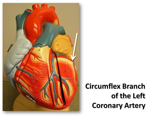 circumflex branch of the left coronary artery  anterior vi