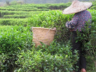 Tea Picker on Wudong Peak | by Tranquil Tuesdays