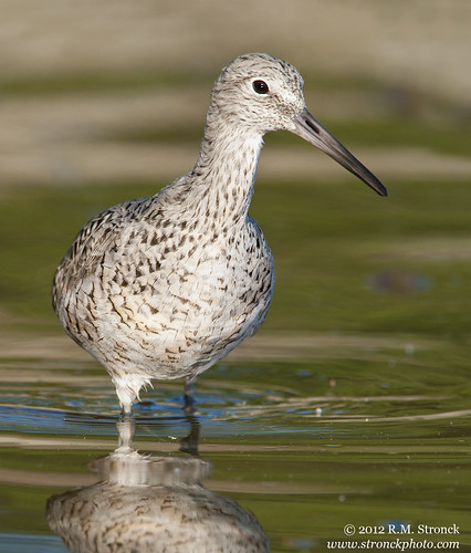 Greater Yellowlegs | by Bob Stronck
