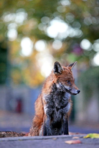 Sitting Pretty, Red Fox, Bristol | by Disorganised Photographer - Ian Wade - Travel, Wil