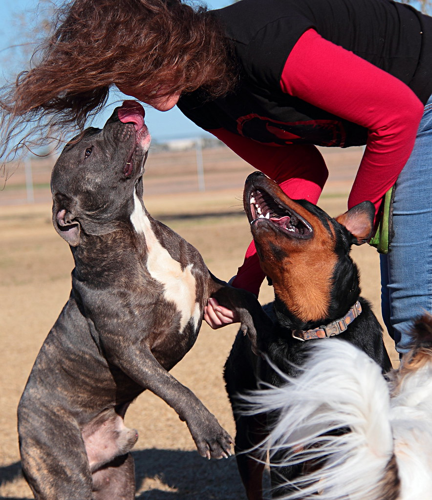 Sudden And Powerful Pitbull And Rottweiler Attack Flickr
