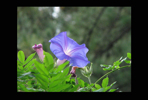 4x6 Morning Glory on Black 101-_8793 | by yahcatphotos