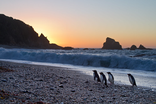 Fiordland Crested Penguins, West Coast, New Zealand | by *amy&kimball