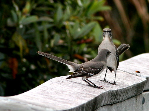 Mockingbird standoff 20101230 | by Kenneth Cole Schneider