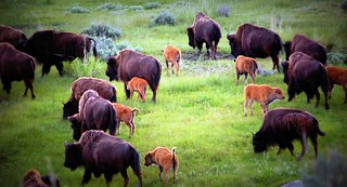 Herd of Buffalo Yellowstone NP | by bethmax