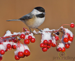 Black-capped Chickadee Saying Merry Christmas! | by JRIDLEY1