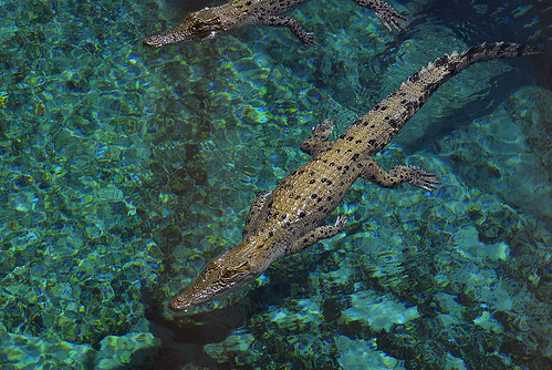 Young crocodiles - Darwin Crocosaurus | by BrianRope