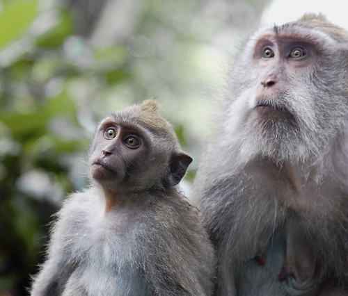 Bali Monkeys 2 | by rexboggs5