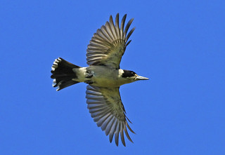 Butcherbird : Morning Flight | by Clement Tang **busy**