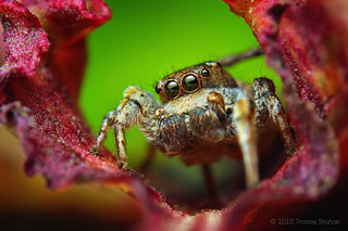 Adult Male Habronattus cognatus Jumping spider | by Thomas Shahan