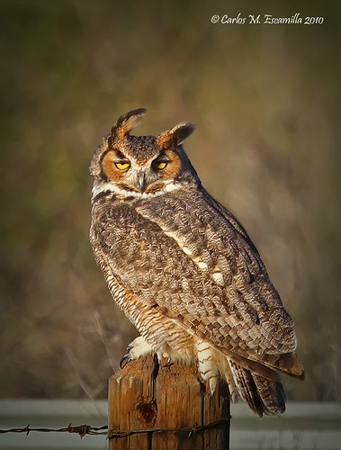 Great Horned Owl  IMG_3594edtvg | by cmescamilla