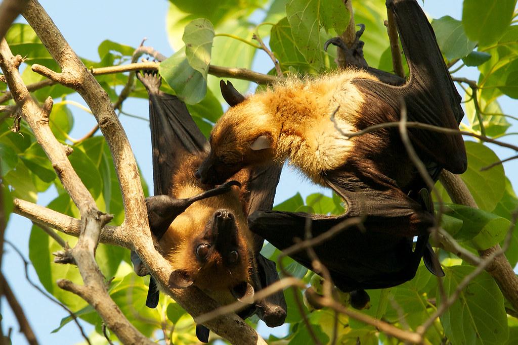 Bats oral sex photos 772