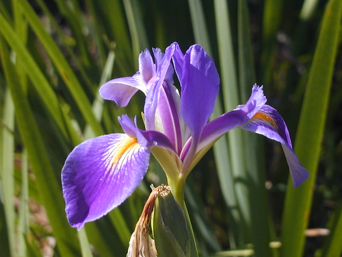 Blue Flag Iris | by SCCF Native Landscapes & Garden Center