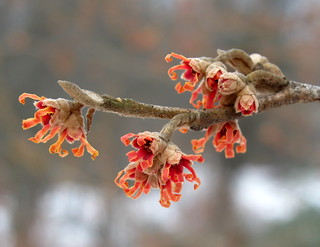 Hamamelis vernalis 'Christmas Cheer' | by Tie Guy II