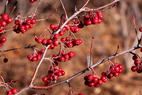 Red Chokeberry | by Mr.TinDC