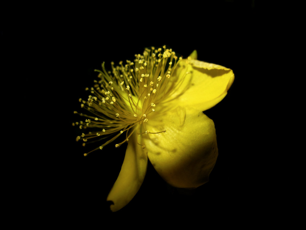 Yellow flower on black background yellow flower on black flickr by chicken fry yellow flower on black background by chicken fry mightylinksfo