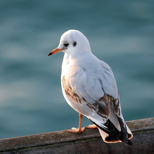 A Seagull, thinking about the next catch. | by ..Peter