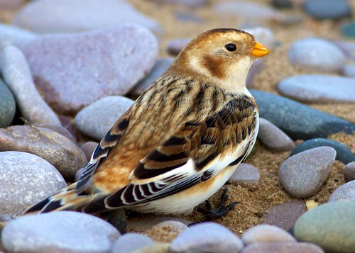 snow bunting 2 | by blackfox wildlife and nature imaging