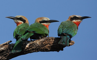 white-fronted bee eaters | by michaelrosenbaum