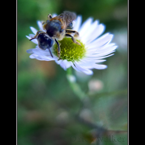 bee | daisy | by Chilliwack Jack (Busy building a new house)...