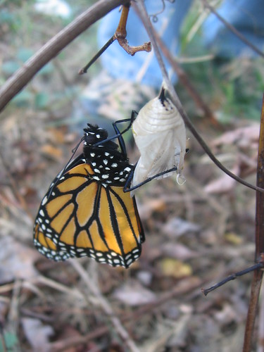 monarch butterfly, freshly hatched | by henna lion
