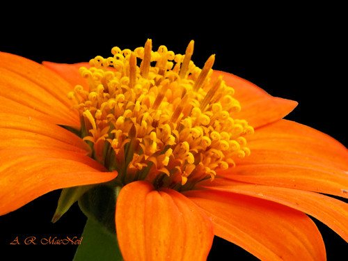 Mexican Sunflower 2 - Vancouver, British Columbia | by Barra1man