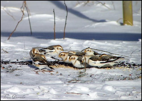 Bruants des neiges - Snow buntings | by Gattou - Lucie Provencher