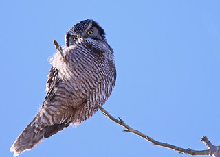 "Northern Hawk Owl... #11... ""don't look up now"" 