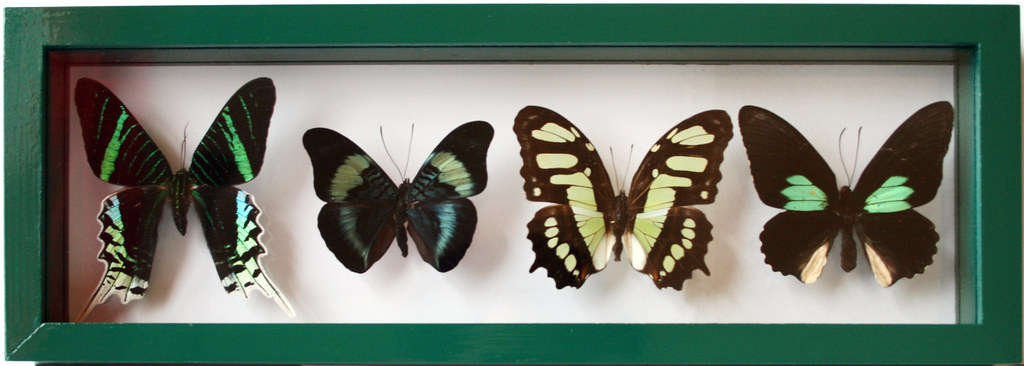 Real Green Framed Butterfly Collection with 4 Exotic Mount… | Flickr