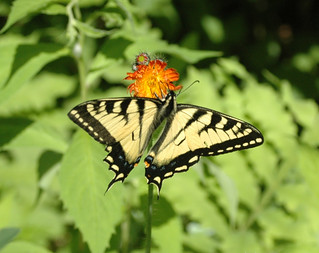 Eastern Swallowtail on an Indian Paintbrush | by Great Glen Trails